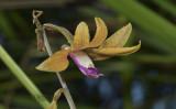 Tainia gramminifolia, ground orchid, flower 5 cm