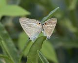 Peablue, Lampides boeticus