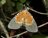 Moth, Peridrome orbicularis