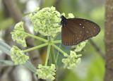 Euploea mulciber, female