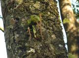 Oberonia ensiformis, 1850 mtr.