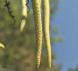 Oberonia pachyrachis