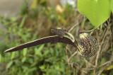 Aristolochia macrophylla, Phu Khang