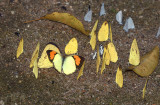 Puddling butterflys and Yellow orangetip