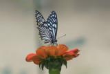 Papilio clytia form dissimilis