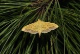 Yellow awlet