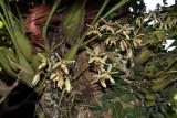 Coelogyne trinervis on tree