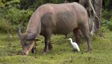Pink albino buffalo, verry expensive