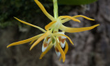 Thrixspermum arachnitis
