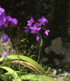 Spathoglottis plicata