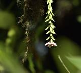 Hoya engleriana, hanging down from the tree