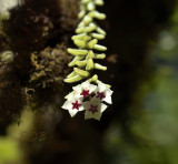 Hoya engleriana, highly  endangered, hanging down from a tree flowers 1½ cm across