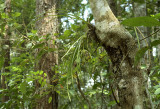 Cymbidium siamense in tree