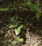 Liparis paradoxa. seedpods, 1900 mtr.