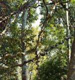 Art of nature, Entada rheedii
