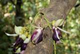 Liana in flower
