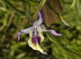 Dendrobium sp. Birma.