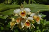 Dendr. cariniferum