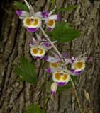 Dendr. devonianum bloemen 6 cm