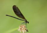 Calopterix virgo, female