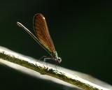 Calopterix virgo, female backlight