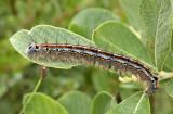 Rups van de ringelrupsvlinder