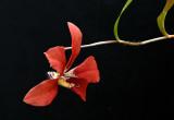 Gallery  Dendrobium