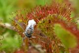 Glasvleugelcicade, legboor omgeven door was ter bescherming tijdens ei-afzetten