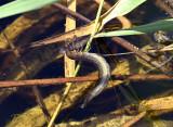 Larf geelgerande watertor eet larf heidelibel