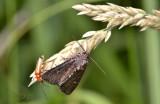 Halmrupsvlinder,  Mesapamea secalis