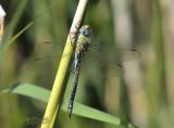 Aeshna affinis, blue female