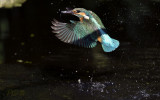 Blauwe visser, jong mannetje op salamanderjacht