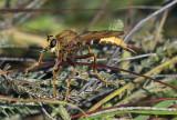 Hoornaarroofvlieg, Asilus crabroniformis