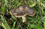 Barsthoed, grauwe - Dermoloma cuneifolium
