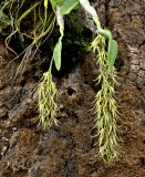Dendrobium strongylanthum