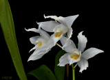 Gallery coelogyne orchids