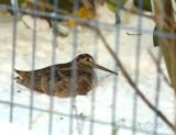 Houtsnip in de tuin - woodcock in the garden