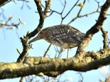 Nachtreiger in de boom bij de buren.