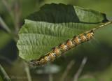 Wapendrager, Phalera bucephala