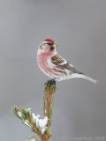 Grote Barmsijs - Mealy Redpoll - Acanthis flammea