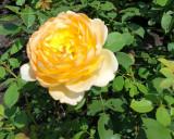 Yello rose