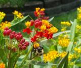 Milkweed with bee