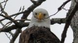 eagle_face1a.jpg