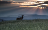 An Unexpected Visitor: Young Elk On Max Patch