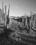 Evening Moon Over Organ Pipe, Arizona