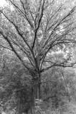 White Oak Near Deerfield, Blacksburg, Va
