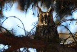 Hibou moyen-duc (Long-eared owl)