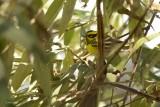 Paruline de Townsend (Townsend's Warbler) Setophaga townsendi