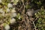 Mésange buissonnière (American Bushtit) Psaltriparus minimus