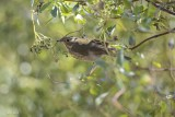 Grive solitaire (Hermit thrush) Catharus guttatus